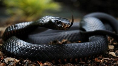 صورة ما هي أكثر الثعابين فتكاً في العالم؟