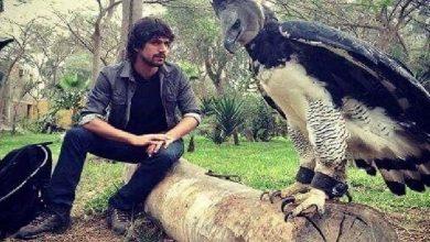 صورة معلومة اليوم | طائر العقاب الخطاف – Harpy Eagle يستطيع حمل طفل بعمر 5 سنوات