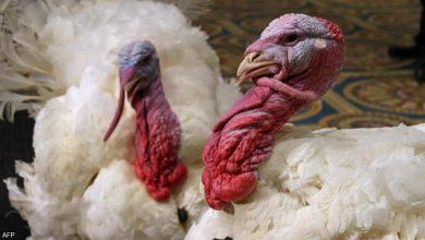 صورة بريطانيا تعدم الآلاف من الديك الرومي بسبب إنفلونزا الطيور