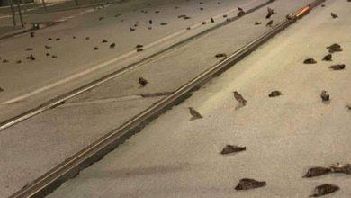 صورة مفرقعات رأس السنة تقتل مئات الطيور وتنثرها في طرق روما